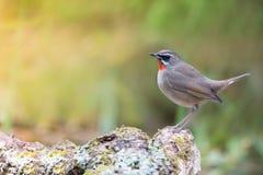 Птица Beautyful красная throated стоковые изображения