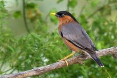 Птица, Brahminy Starling (09) Стоковые Изображения RF