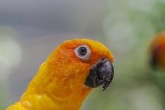 Птица Budgie глаза Стоковое Фото