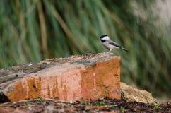 Птица Chickadee Каролины, Афины, Georgia Стоковое фото RF