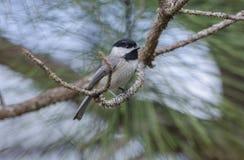 Птица Chickadee Каролины, Афины, Georgia Стоковые Изображения