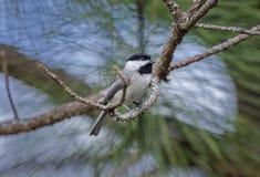 Птица Chickadee Каролины, Афины, Georgia Стоковые Фото