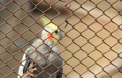 Птица Cocatail. Стоковое Фото