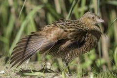 Птица Corncrake с протягиванным крылом Стоковая Фотография