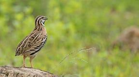 Птица, coromandelica Cotumix триперсток дождя Стоковое Фото