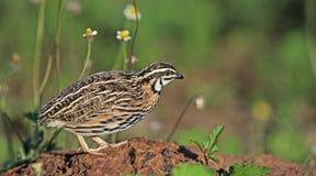 Птица, coromandelica Cotumix триперсток дождя Стоковые Фото