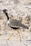 Птица Courser стоковые изображения rf