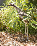 Птица Curlew Стоковая Фотография RF