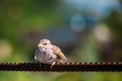 Птица Domesticus проезжего воробья дома на загородке Стоковые Изображения RF