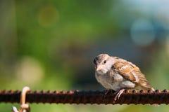 Птица Domesticus проезжего воробья дома на загородке Стоковое Фото