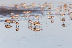 Птица Dunlin Стоковое Изображение RF