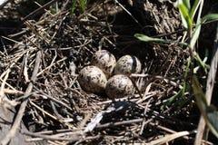 птица eggs гнездй s Стоковая Фотография RF