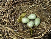 птица eggs молочница гнездя Стоковое Изображение RF