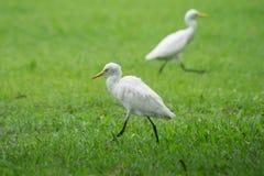 Птица Egret Стоковое Фото