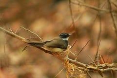 Птица Fantail Стоковое Изображение