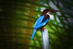 Птица fisher короля Стоковые Фотографии RF