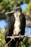 птица galapagos Стоковые Изображения
