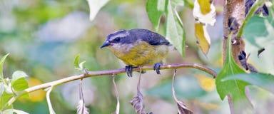 Птица honeycreeper Bahama садить на насест на ветви дерева стоковые изображения rf