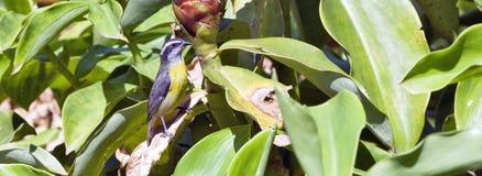 Птица honeycreeper Bahama садить на насест на busch стоковое изображение rf