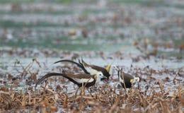 Птица jacana кабеля фазана Стоковая Фотография