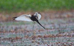 Птица jacana кабеля фазана Стоковое Изображение