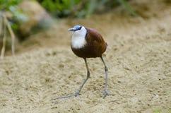 Птица jacana africana Actophilornis африканская Стоковая Фотография