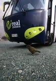 Птица Kea гуляя перед туристическим автобусом в Milford звучит, национальный парк Fiordland, новое Zealandan стоковое изображение rf