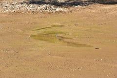 Птица Killdeer идя в воду Стоковая Фотография RF