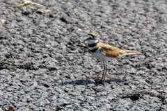 Птица killdeer Стоковое Изображение