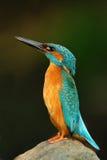 Птица Kingfisher, сини и апельсина сидя на камне в реке Стоковая Фотография