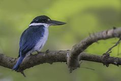 Птица Kingfisher Collard стоковое фото rf