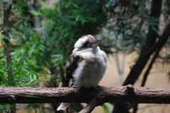 Птица Kookaburra садить на насест на ветви дерева Стоковые Изображения