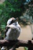 Птица Kookaburra стоя на ветви дерева Стоковое Изображение
