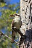Птица Kookaburra типичная австралийская в Byfield Стоковые Фотографии RF