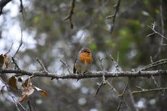 Птица Litlle в одичалом лесе в осени Стоковое Изображение