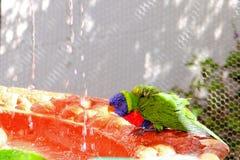 Птица Lorikeet в birdbath Стоковые Изображения