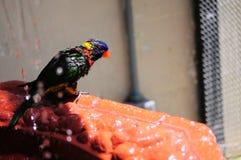 Птица Lorikeet радуги в Флориде Стоковое Изображение