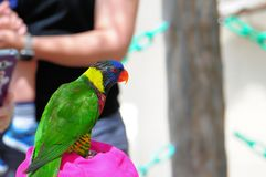 Птица Lorikeet радуги, Флорида Стоковая Фотография RF