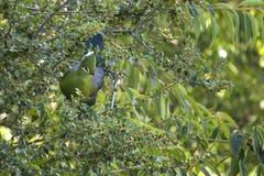 Птица Lourie спрятанная в дереве Стоковое Фото