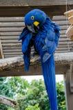 Птица Macaaw гиацинта Стоковое Фото