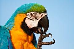 Птица Macaw стоковые изображения rf