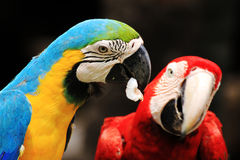 Птица Macaws пар [ararauna] Ara [Macaw шарлаха] Стоковое фото RF
