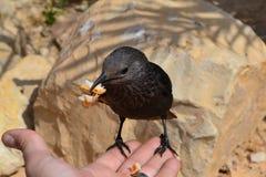 Птица Masada Стоковые Изображения RF