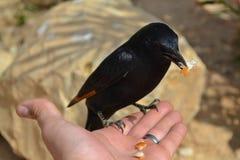Птица Masada Стоковое Изображение