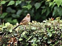 Птица mexicanus Carpodacus зяблика дома Стоковая Фотография RF