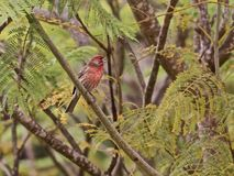 Птица mexicanus Carpodacus зяблика дома breasted красным цветом Стоковое Изображение