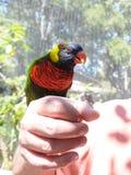 Птица moluccanus Trichoglossus Lorikeet радуги в наличии закрывает вверх Стоковые Фото