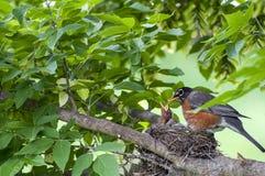 Птица Momma Робина и птицы младенца в гнезде стоковые фото