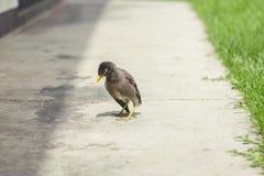 Птица Myna на земле Стоковое Фото
