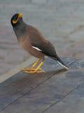 Птица Myna смотря кругом Стоковая Фотография RF